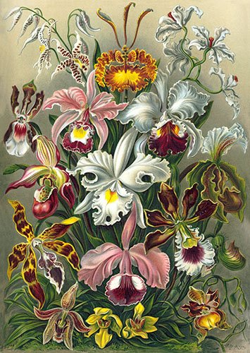 blumen-und-pflanzen - Orchidae - Haeckel, Ernst
