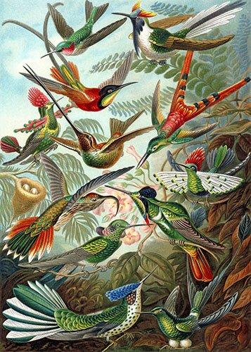 tiermalereien - Trochilidae - Haeckel, Ernst
