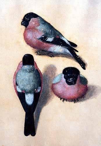 tiermalereien - Un pájaro en tres posiciones - Dürer, Albrecht (Albert Durer)