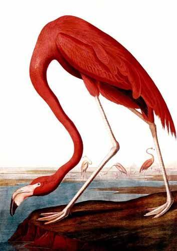 tiermalereien - Flamenco Americano - Audubon, John James
